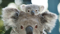 Billabong Koala and Wildlife Park - Accommodation Kalgoorlie