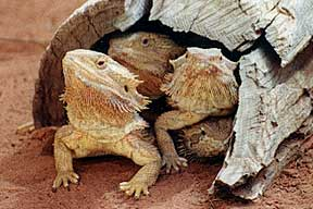 Alice Springs Reptile Centre - Accommodation Kalgoorlie