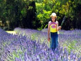 Brayfield Park Lavender Farm - Accommodation Kalgoorlie