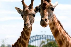 Sydney Harbour Ferry with Taronga Zoo Entry Ticket - Accommodation Kalgoorlie
