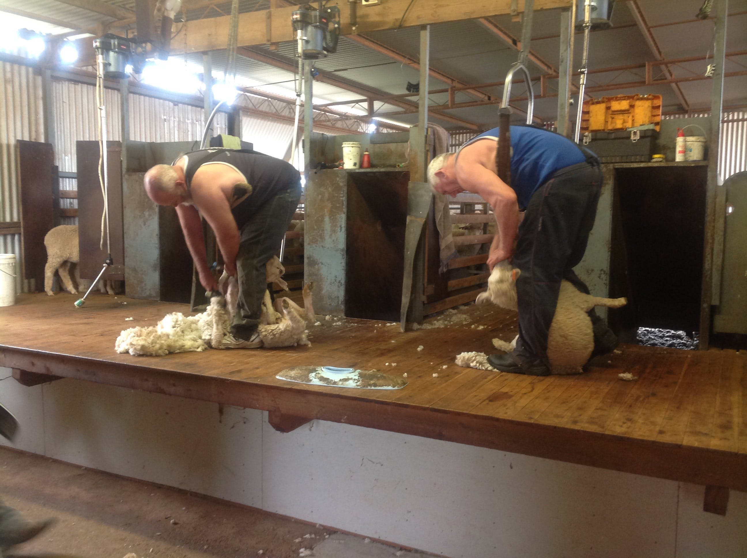 Sheep Shearing Farm Tour - Accommodation Kalgoorlie
